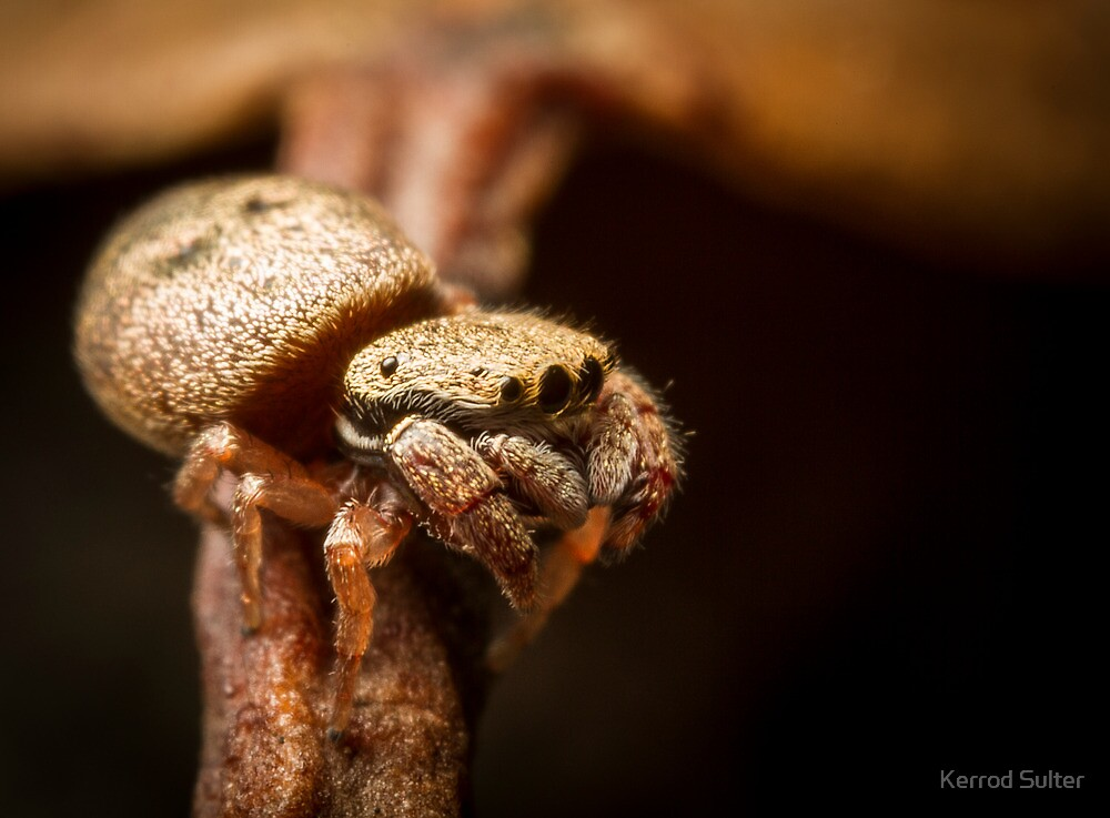 (Simaethula ZZ483) Jumping Spider #3 by Kerrod Sulter