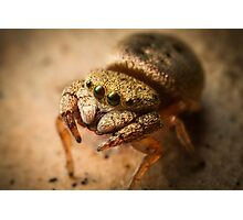 (Simaethula ZZ483) Jumping Spider #4 Photographic Print