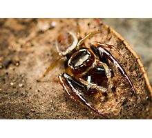 (Opisthoncus polyphemus) Male Jumping Spider Photographic Print