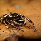 (Opisthoncus polyphemus) Male Jumping Spider #2 by Kerrod Sulter