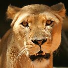 Lioness portrait ~ square frame by roger smith