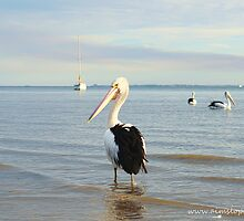 A Posing Pelican by -aimslo-