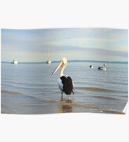 A Posing Pelican Poster