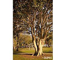 Banyan Figs  Photographic Print