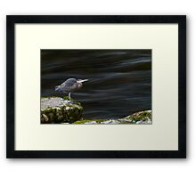Great Blue Heron at the Capilano River Framed Print