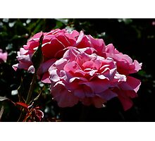 Duet Rose Photographic Print