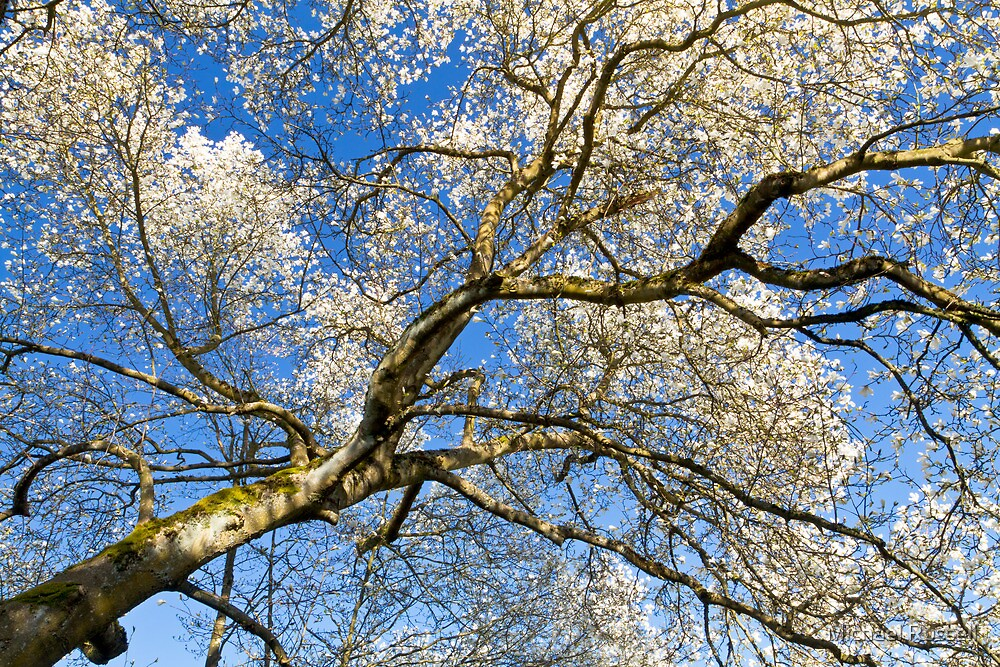 Star Magnolia Tree by Michael Russell
