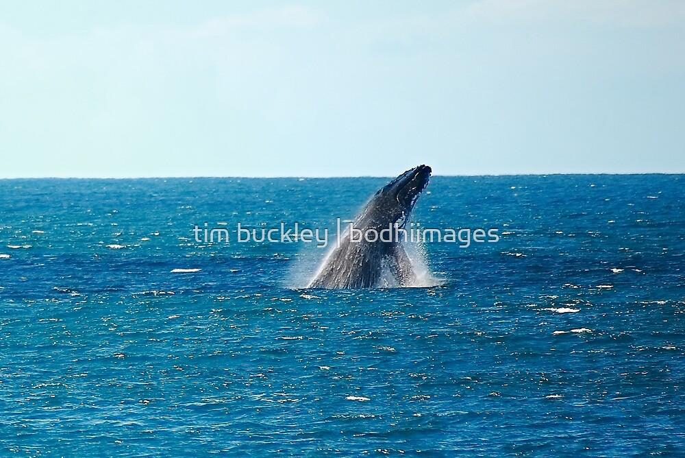 humpback breach. bicheno, tasmania by tim buckley | bodhiimages