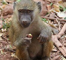 Young Yellow Baboon (Papio cynocephalus) by Hannah Nicholas