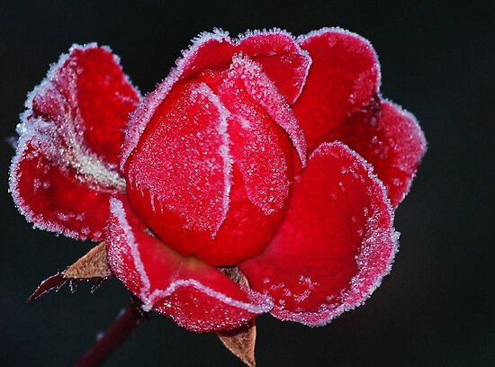 Frosty Rose by Bine