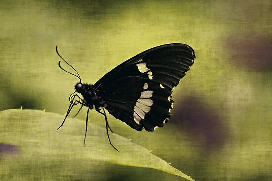 Butterfly by Anne Staub