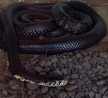 Yellow bellied black snake, Darwin Crocodylus Park, 2011 by Martina Nicolls