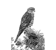MERLIN (Bird of Prey) Photographic Print