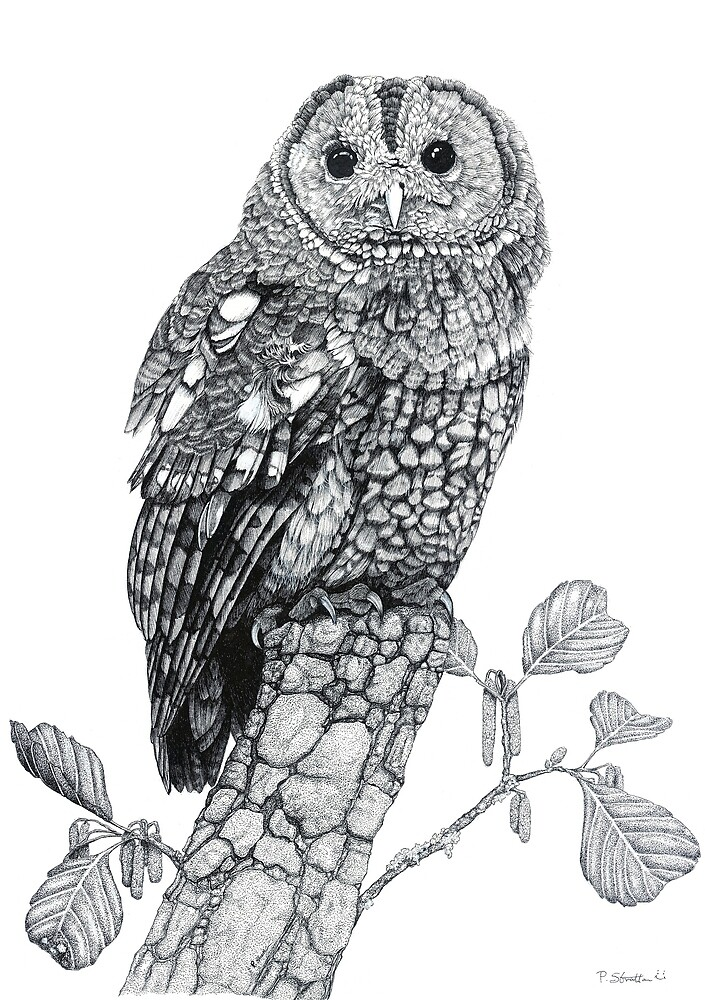 Tawny Owl (cropped version) by Paul Stratton