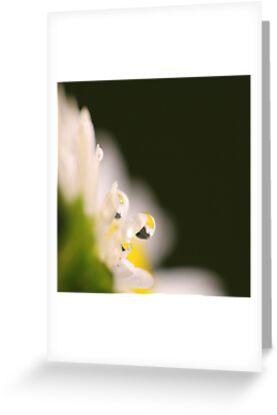 The Tears of the Daisy by KUJO-Photo