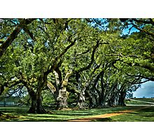Ancient oak trees  Photographic Print