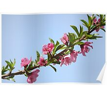 Pink blossoms on a Peach tree in an orchard.  Poster