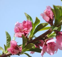 Pink blossoms on a Peach tree in an orchard.  Sticker