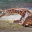 Young Giraffe by Kathy Baccari