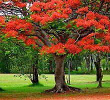 Fiery Poinciana Trees by Renee Hubbard Fine Art Photography