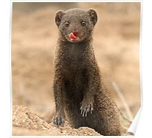 A Dwarf Mongoose with personality! Poster