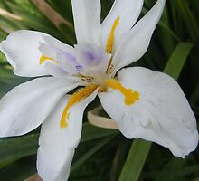 Iris by Susan Glaser