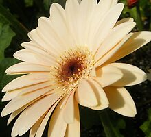 Gerber Daisy by Susan Glaser