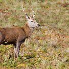 Deer by Steven  Lee