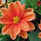 Drop Dead Gorgeous - Beautiful Orange Dahlia by MidnightMelody