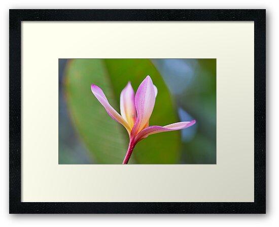 Hawaiian Plumeria II by jayneeldred
