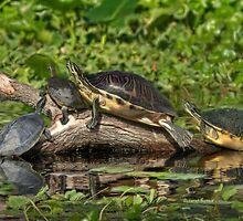 Turtles Sunning by Deborah  Benoit