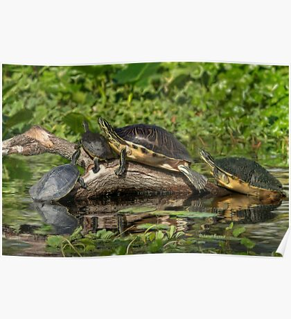 Turtles Sunning Poster