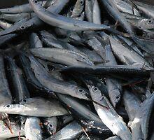 Sardine harvest in St. Lucia by docnaus