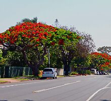 Poinciana Trees, Victoria Point, Queensland, Australia by Margaret  Hyde