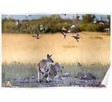 Kangaroo and Galahs Poster