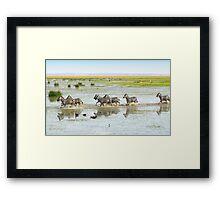 Zebras Crossing The Swamp Framed Print