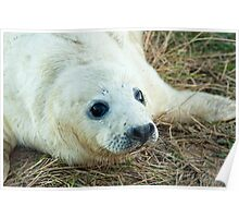 Seal Pup, Donna Nook Poster