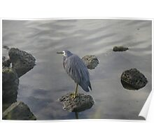 Waterbird,Port Fairy,Victoria. Poster