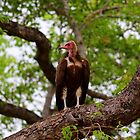 Hooded Vulture by Cameron B