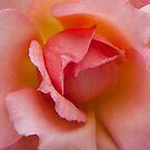 Pink Rose by VanOostrum