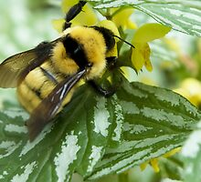 Busy Bumble Bee by pjwuebker