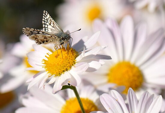 Checkered Skipper by Lolabud