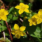 Yellow Pimpernel by cuilcreations