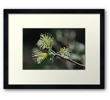 Eared Willow Flowering Framed Print