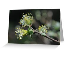 Eared Willow Flowering Greeting Card