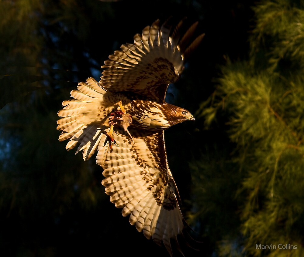 112412 Red Tailed Hawk with Prey by Marvin Collins