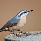 Red-Breasted Nuthatch by Bonnie T.  Barry