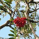 Rowan Berries by cuilcreations