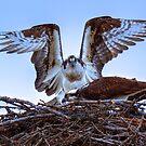 Osprey Rising by JamesA1