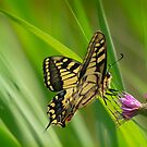 swallowtail (norfolk uk) 2 by Steve Shand
